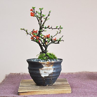 退職後の趣味に盆栽をプレゼント