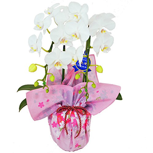 胡蝶蘭は昇進祝いにおすすめのギフト