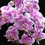 母の日の選べるマイクロ胡蝶蘭・さくらん他 花鉢 5/10~13にお届け,さくらん
