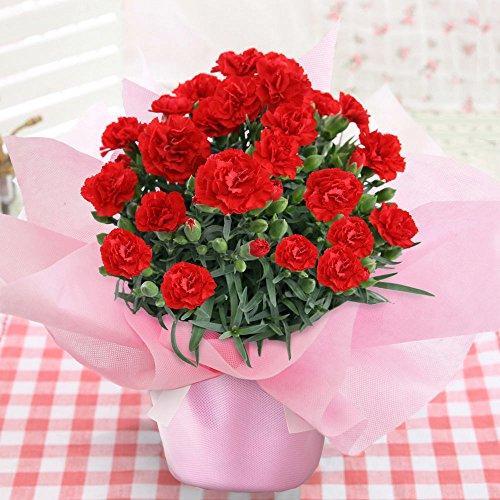 カーネーション花鉢を日頃の感謝の気持ちを込めてプレゼント