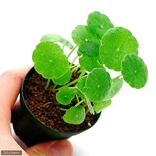 (水草)ミニマッシュルーム(水上葉) 鉢植え(無農薬)(1鉢) 本州・四国限定[生体]