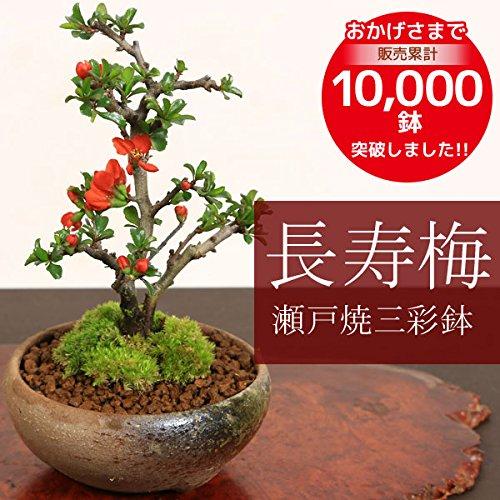 ミニ盆栽を祖父にプレゼント