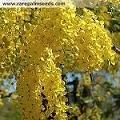 20 Golden Shower Tree Gold Rush Yellow Cassia Fistula Flower Seeds
