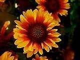 Juju's Garden Indian Blanket Flower ~ 300 Seeds