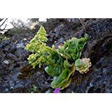 Aeonium Canariense Seeds 10pcs Crassulaceae Bonsai Succulent Plants