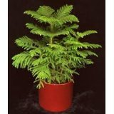 Norfolk Island PINE Tree Seed~1 Seed ONLY