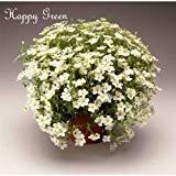 SVI arenaria White - 50 Seeds - arenaria Montana - Perennial Flower - Alpine - Rock