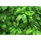 100 Sweet Basil Seeds