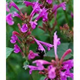 Heirloom 1000 Seeds Agastache Mint Red Heather Queen Mexican Giant Hyssop Herb S205