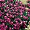 Delosperma cooperi PURPLE ICE PLANT Hardy Exotic SEEDS!