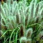 Pennisetum alopecuroides viridescens 1.000 seeds