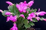 """Pink Christmas Cactus Plant - Zygocactus - 6"""" Pot From Jmbamboo"""