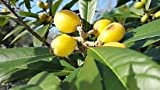 20 LOQUAT TREE SEEDS FLORIDA GROWN AND RAISED COLD HARDY TO 10 DEGREES