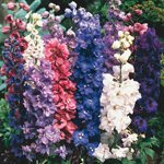 100 ROCKET LARKSPUR GIANT IMPERIAL MIX Delphinium Consolida Flower Seeds