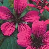 Plant World Seeds - Geranium psilostemon 'red propellers' Seeds
