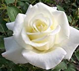 "Sub Zero Hybrid Tea Rose Plant -White Licorice Rose Potted Plant,White Rose Bush, Nice 6-10"" Tall Rose Plant"