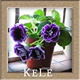 New Arrival!9 Colors Gloxinia Seeds Perennial Flowering Plants Sinningia Speciosa Bonsai Balcony,100 PCS/Lot,#AWL5DT