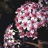 VISA STORE Seeds - Peltiphyllum Peltatum (darmera) Seeds