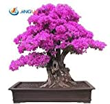 50 Seeds /Pac Ktop Selling Colorful Bougainvillea Spectabilis Willd Seeds Bonsai Plant Flower Seeds Perennial Bougainvillea Seed