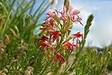 100 Flowered Gaura Seeds,Butterfly Flower,Gaura longiflora -Biennial Bee blossom