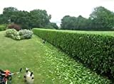10 Starter Plant Sweet Viburnum Odoratissimum Live Plants