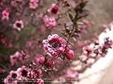 Plentree Seeds Package: Leptoum Scoparium Manuka Tree Seeds Evergreen Beautifuls ()