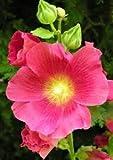 25 Seeds Hollyhock Flowering Plant (Alcea rosea)