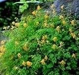 Corydalis - Lutea - 25 Seeds
