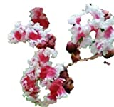 """Peppermint Lace Crape Myrtle Lagerstroemia indica """"Nana"""" 5"""" Tall Healthy Potted Plants - 3 pack"""
