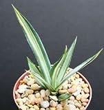 "AGAVE SISALANA MEDIOPICTA ALBA variegated rare variegata cactus plant aloe 4"""