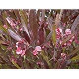 5 Seeds of Dodonaea Viscosa Purpurea Purple Hopseed Bush Shrub