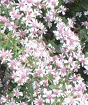 100 LADY IN BLACK CALICO ASTER Aster Lateriflorus Flower Seeds