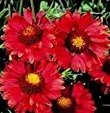 Gaillardia - Burgundy - 150 Seeds