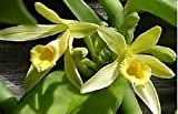 """Vanilla spice orchid live plant rooted 4-6"""" long variegated"""