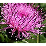 Cirsium Thistles Rose Red Flower Plant 100 Seeds