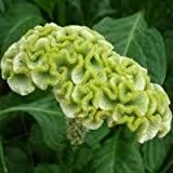 30+ Spring Green Cockscomb / Celosia Flower Seeds