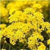 VISA STORE Package of 3,000 Seeds, Basket of Seeds (Aurinia saxatilis)