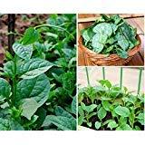Green Climbing Malabar Spinach 100 Seeds - Ornamental/Edible