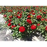 Dwarf Zinnia Elegans Red Large-flowered Plant 500 Seeds
