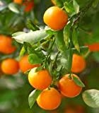 2-3 Year Old Clementine Orange Tree in 3 Gallon Pot