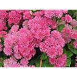 Floss Flower Seeds,Ageratum houstonianum,Cloud Nine Pink-Pel,Early Variety. (100 Seeds)