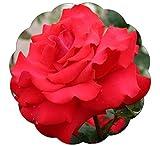 Grande Amore Rose Bush Repeat Blooming Red Rose - Grown Organic Potted Own Root - Stargazer Perennials