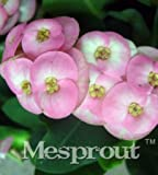 New Euphorbia Milii Hybrid Mix Middle 100+ seeds - 10