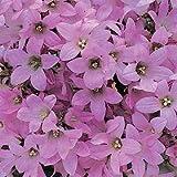 Campanula (Bellflower) lactiflora Dwarf Pink 2,000 seeds