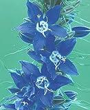 Campanula (Bellflower) americana 1,000 seeds