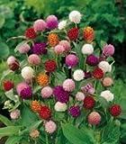 "(AGOM)~""QIS MIX"" GOMPHRENA~Seeds!~~~~Beautiful Dried Too!"
