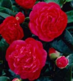 Camellia Kramers Supreme, 1 GAL
