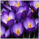 Saffron Seeds,Saffron Flower Seeds,Saffron Crocus Seeds,It Is Not the Saffron Bulbs - 100 Seeds/bag
