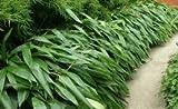 Box of 5 Indocalamus Tessellatus, Cold Hardy Tropical Bamboo Plant.