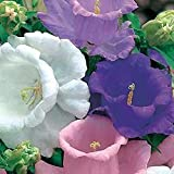 50+ Heirloom Campanula Canterbury Bells Perennial Flower Seeds Mix